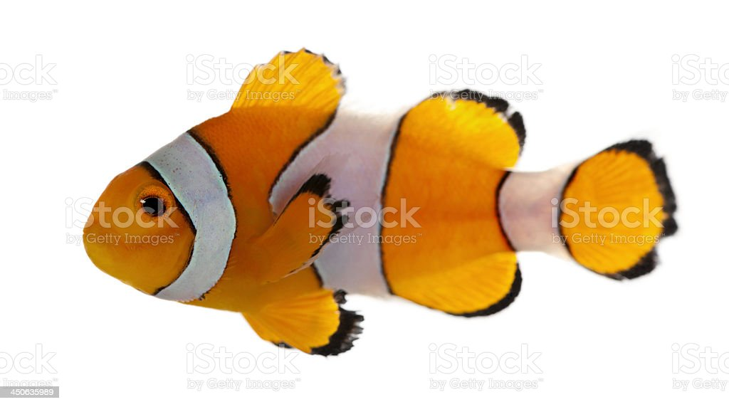 Clownfish, Amphiprion ocellaris, in front of white background stock photo