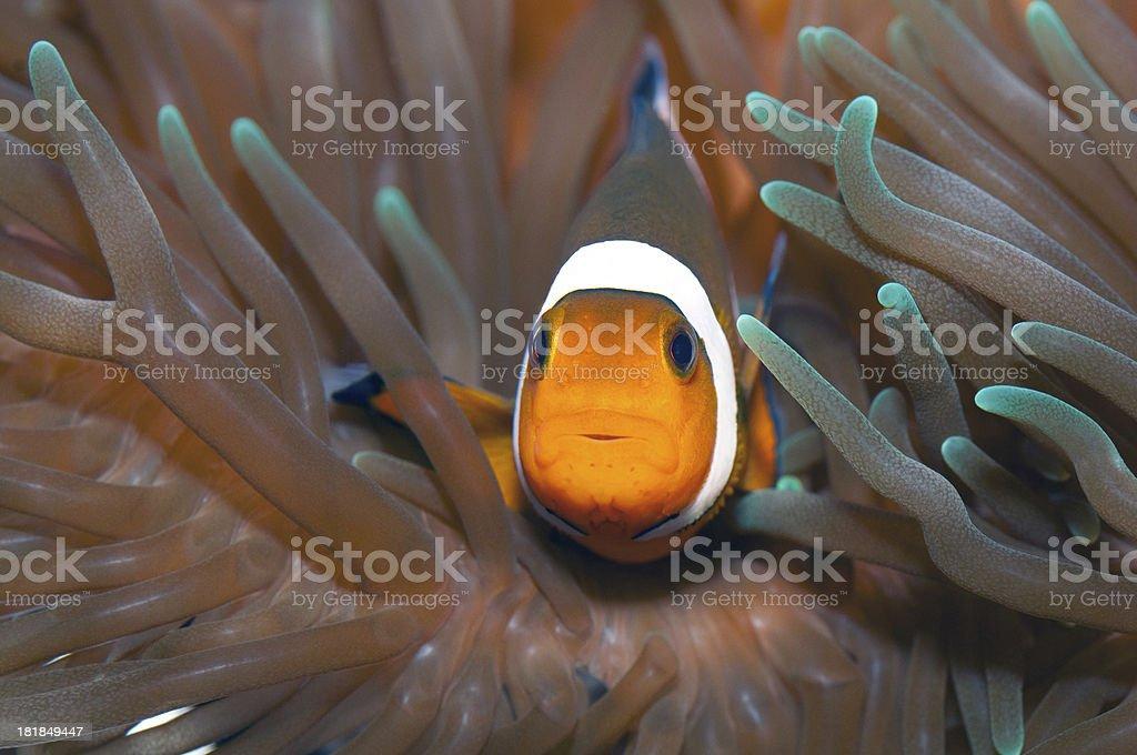 clownfish and green anomone stock photo