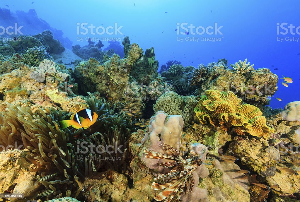 Clownfish and Lionfish swimming around a colorful coral reef royalty-free stock photo