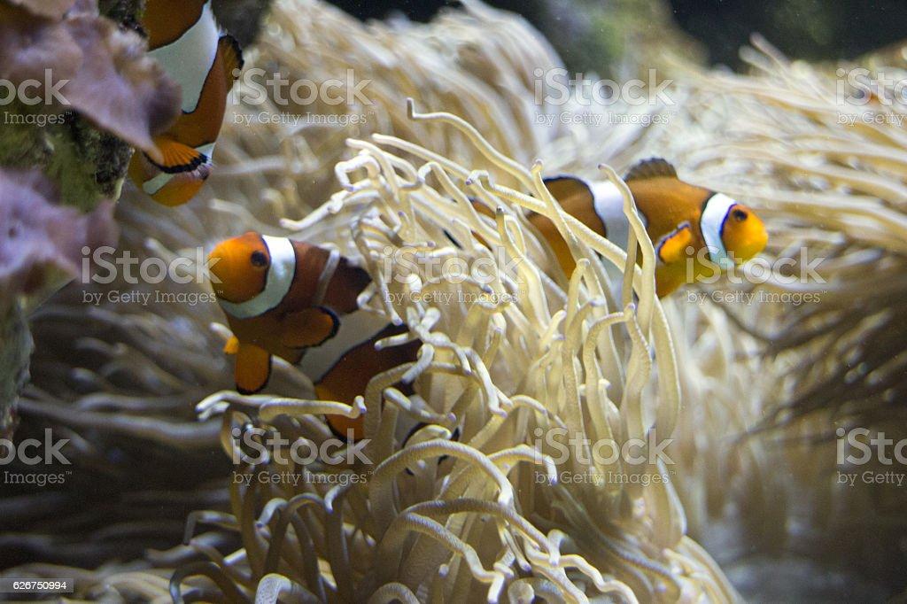 Clownfish and sea anemones stock photo