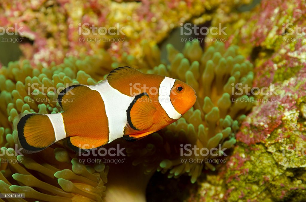 clownfish, anemonefish (Amphiprion Ocellaris) stock photo