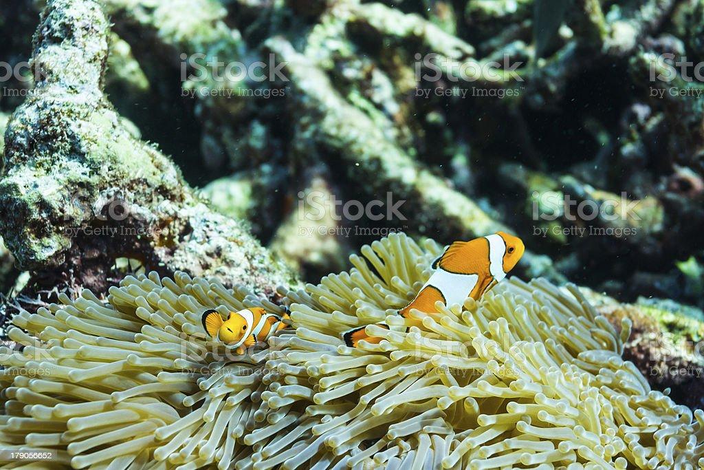 Clownfish at Surin national park royalty-free stock photo