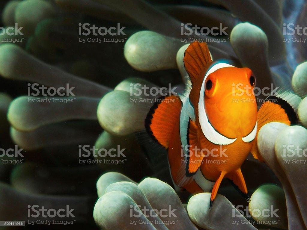 Clownfish close up stock photo