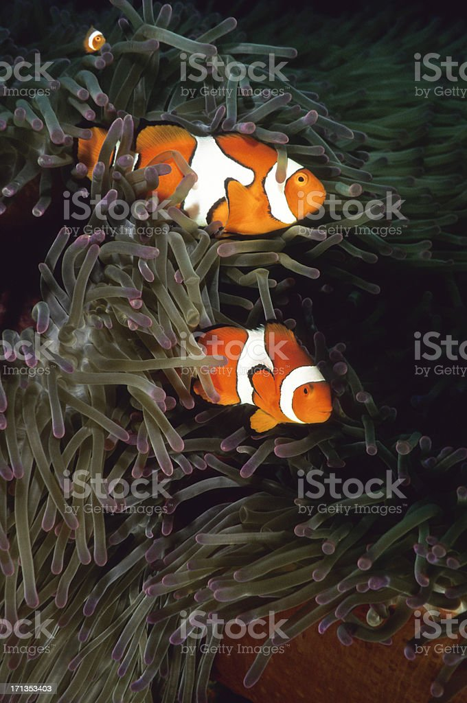 Clownfish Family, Amphiprion percula stock photo