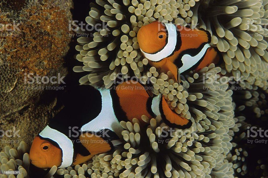 Clownfish Family with Babies (orange eggs) royalty-free stock photo