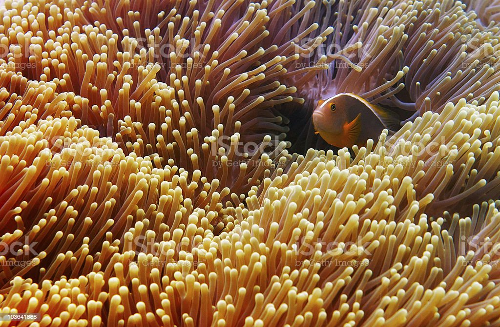 Clownfish Hiding in Anemone royalty-free stock photo