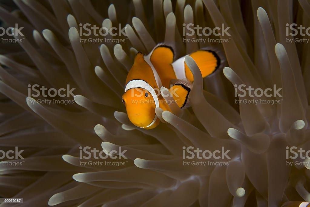 Clownfish (Anemonefish) Hiding in Anemone stock photo