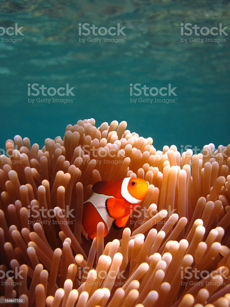 Clownfish in Coral garden - Snorkeling Asian tropical pristine water stock photo