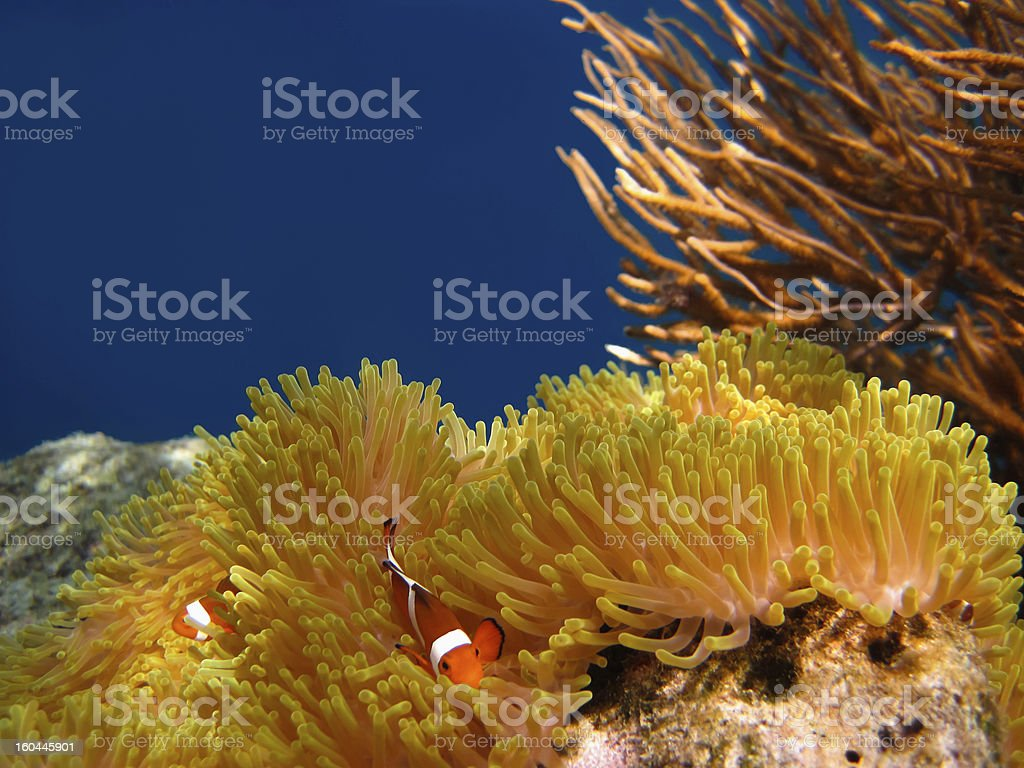 Clownfish in Coral garden - Southeast Asia tropical pristine water stock photo
