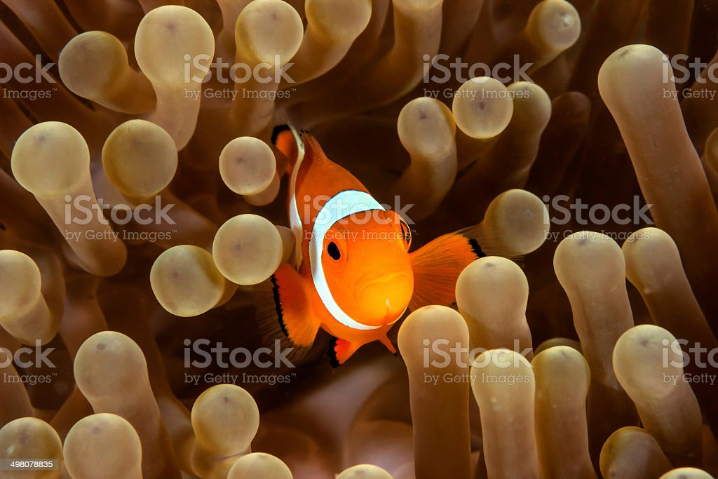 Clownfish in its host anemone. stock photo