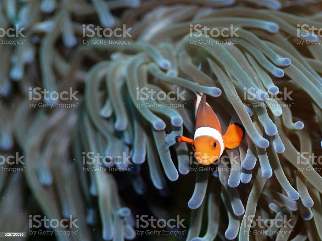 Clownfish Juvenile stock photo