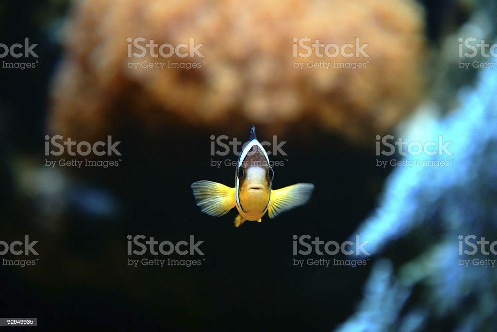 Clownfish Nemo stock photo