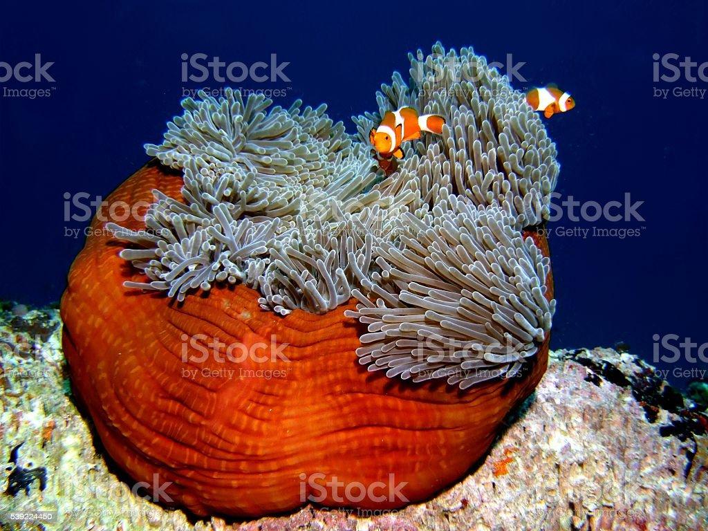 Clownfish or anemonefish on anemone stock photo