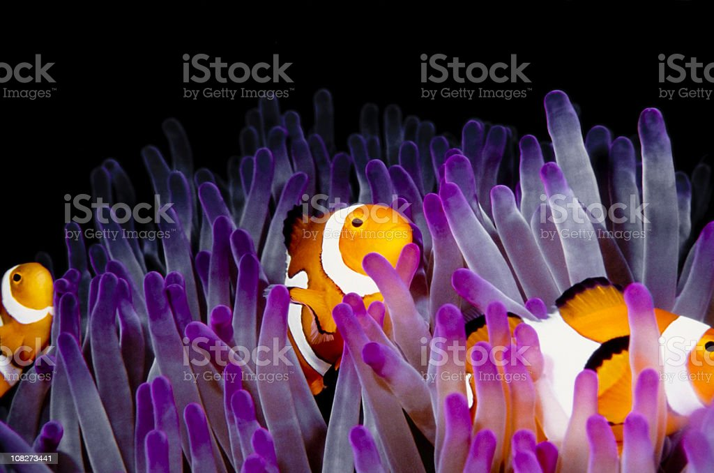 clownfish (Amphiprion Ocellaris) royalty-free stock photo