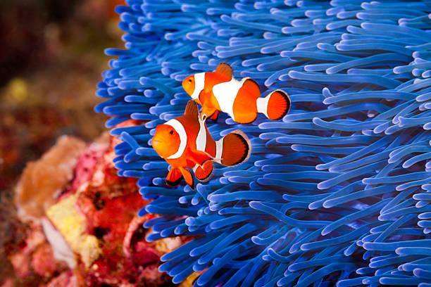 Pesce pagliaccio di clark stock photos immagini istock for Pesce pagliaccio foto