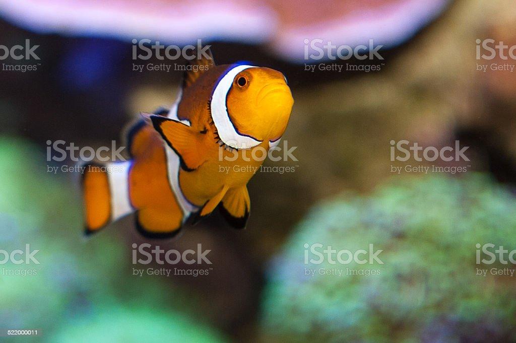 Clownfish stock photo