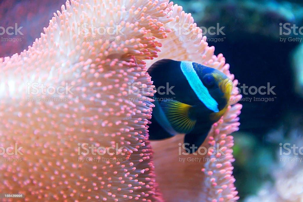 Clownfish , Red Sea ( Amphiprion bicinctus) stock photo
