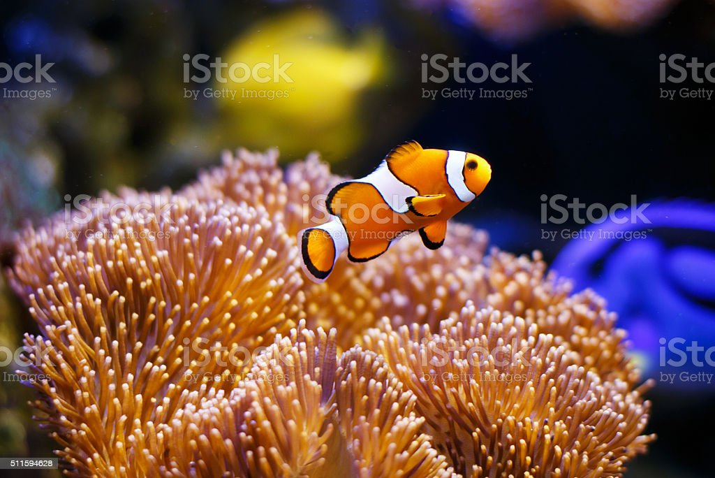 Clownfish with anemone coral stock photo