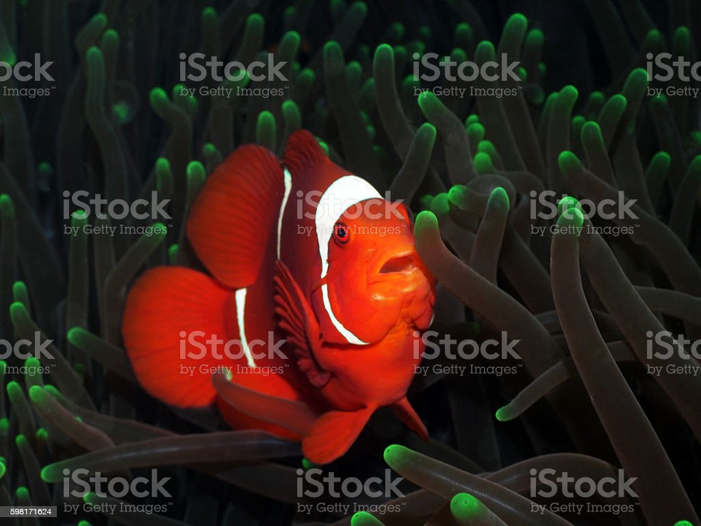 Clownfish with green anemone corals stock photo