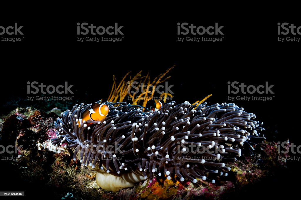 Clownfishes and anemone in black background stock photo