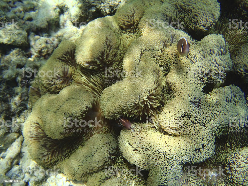 Clownfishes and Anemone stock photo
