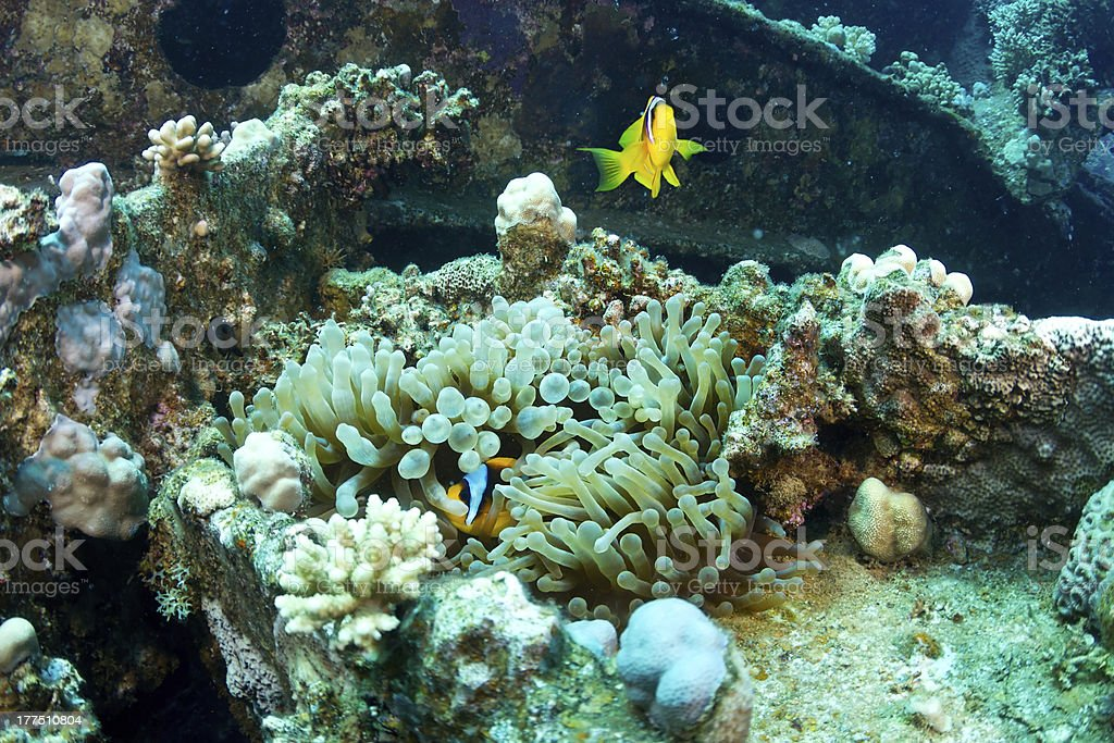 Clownfishes on the wreck stock photo