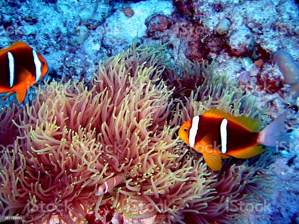 Clowns in Exotic Anemonie royalty-free stock photo
