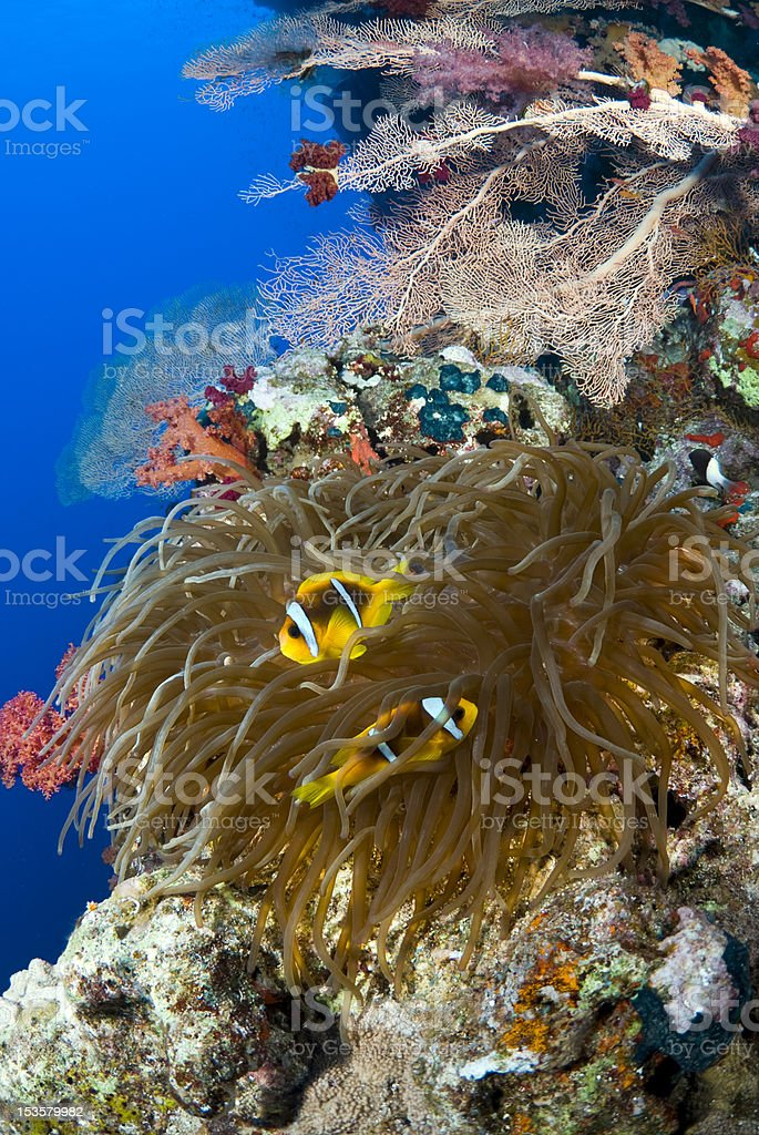 Clowns in the reef stock photo