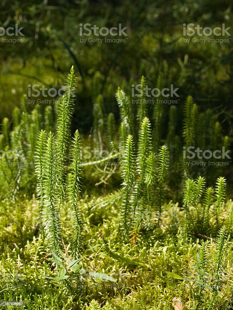 Club-moss in a forest stock photo