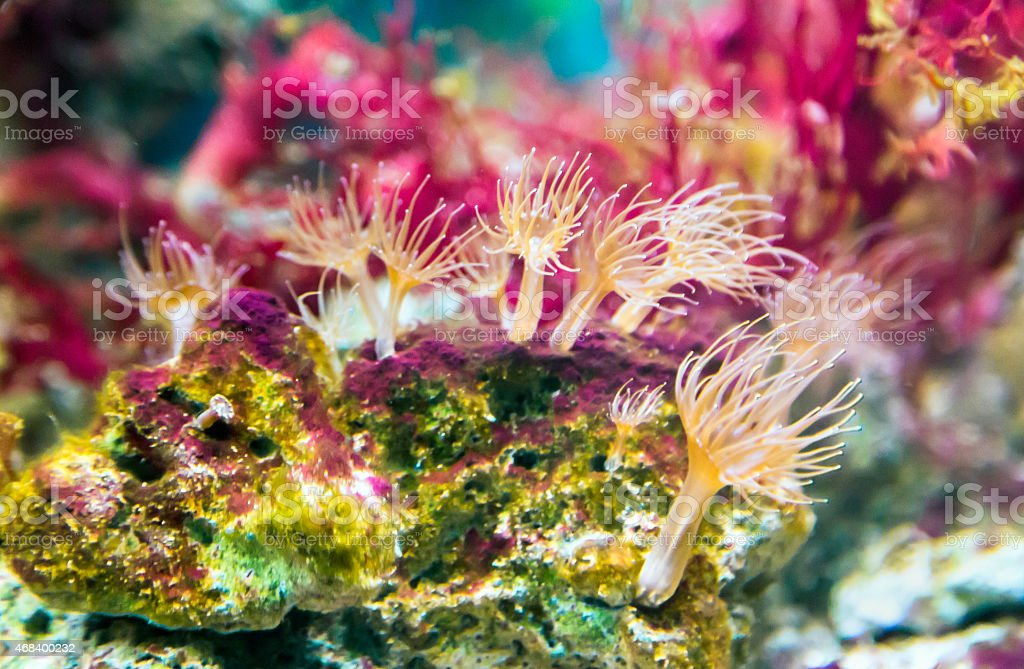Club-tipped Anemone (Corynactis californica) stock photo