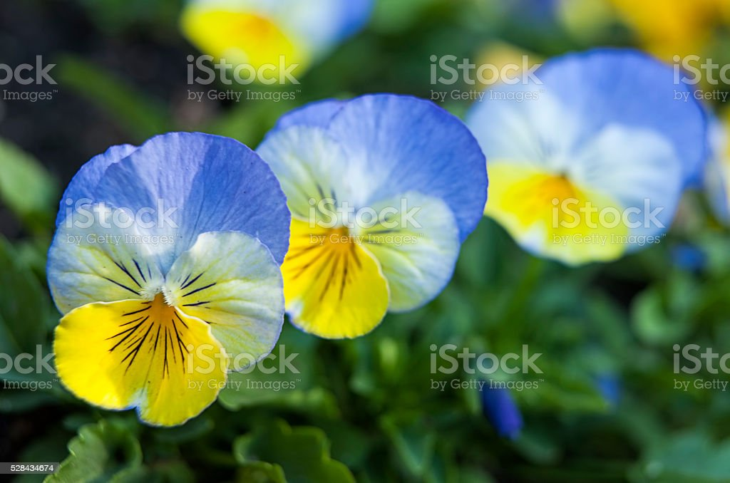 Clue and yellow pansies. stock photo