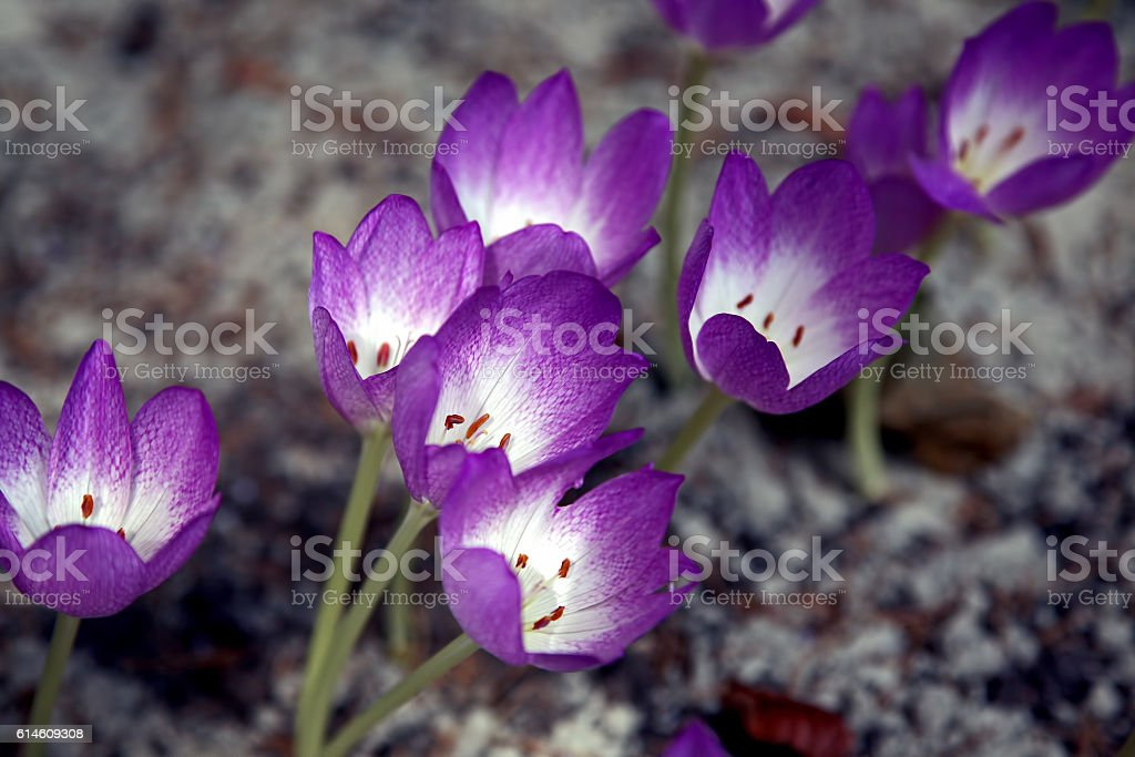 clump of crocuses in the spring the ground stock photo
