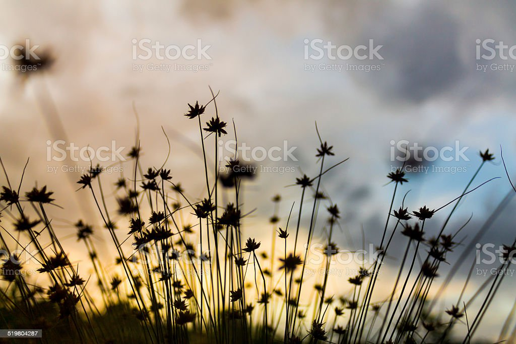 Clump of grass with dawn stock photo