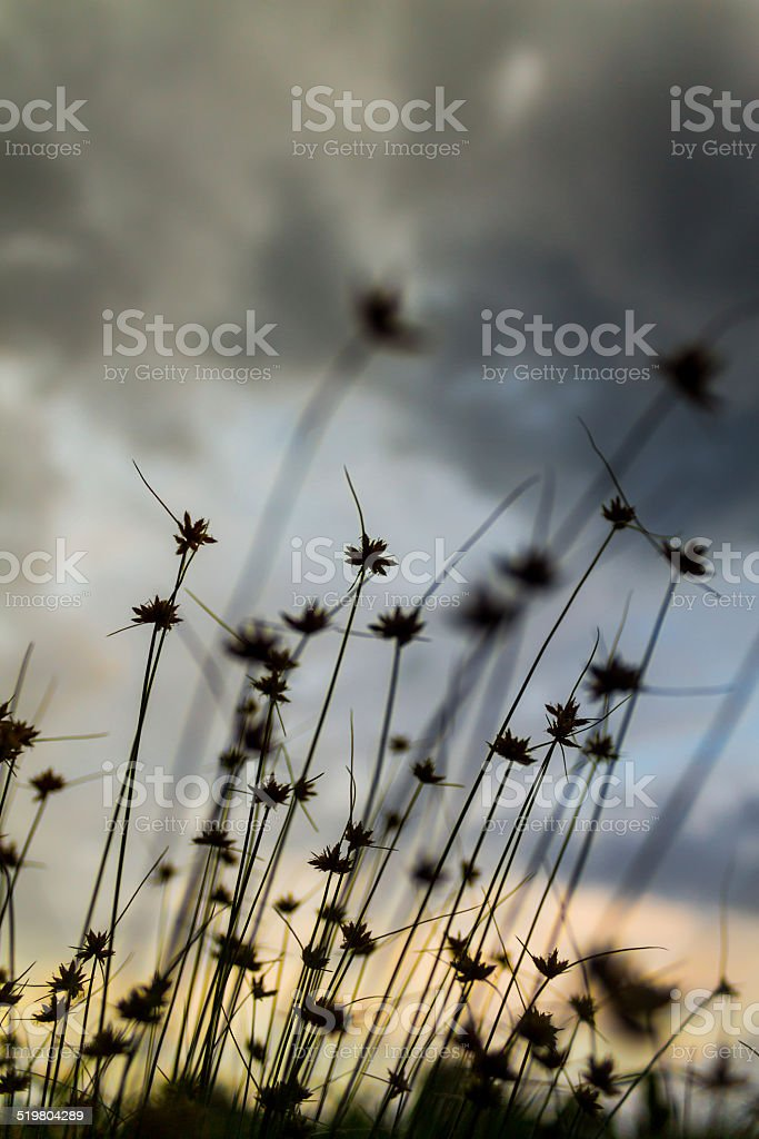 Clump of little grass with dawn stock photo