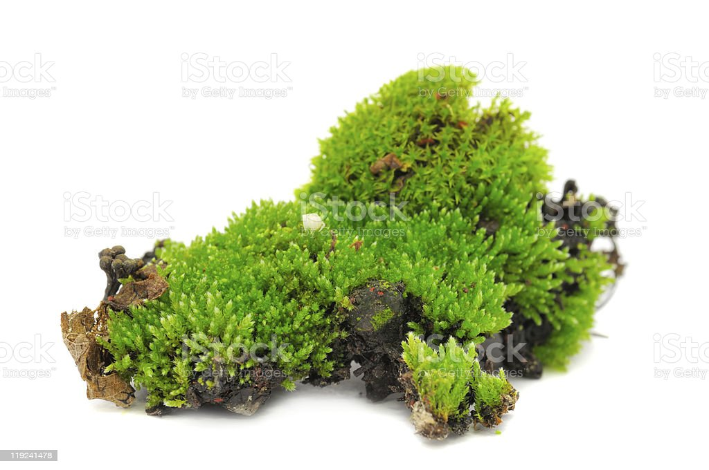 Clumps of green moss on a white background royalty-free stock photo