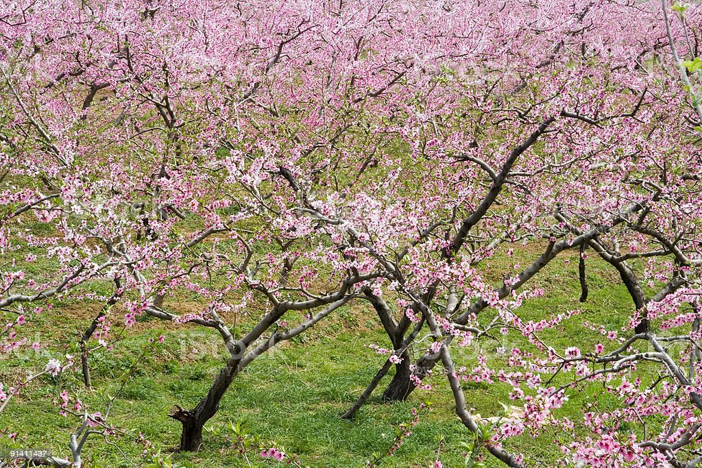 Clumps of peach blossom royalty-free stock photo