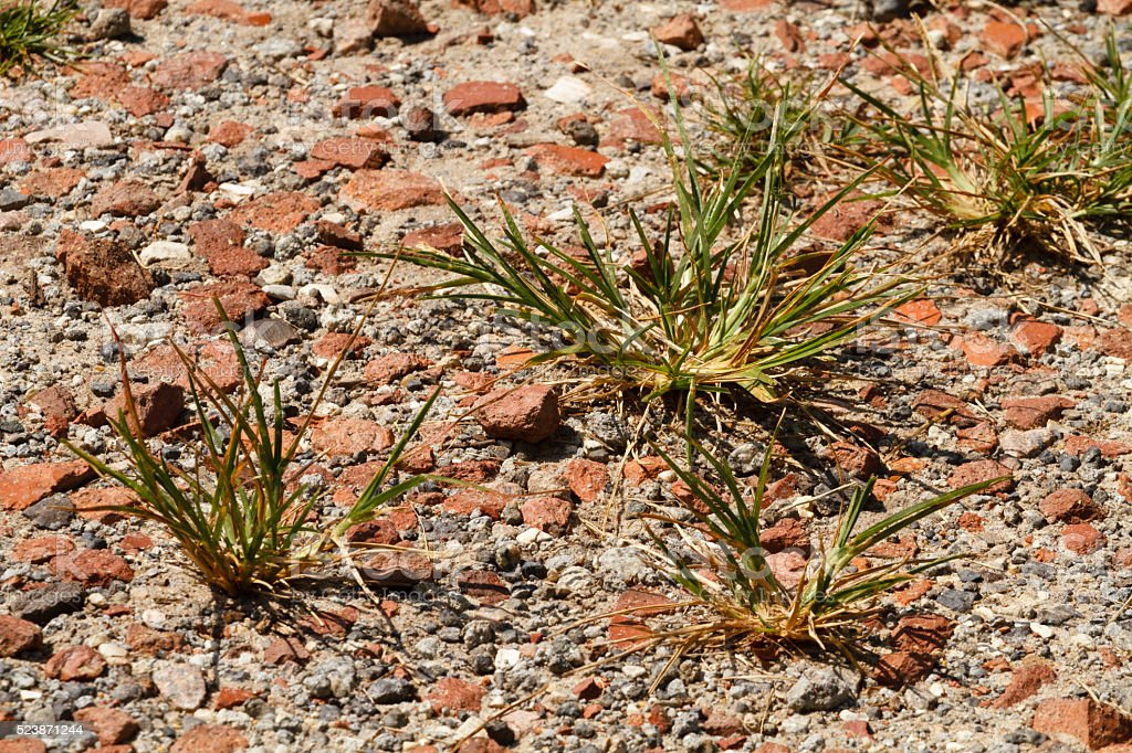 Clumps Tufts of Grass In A Rocky Path Close Up stock photo