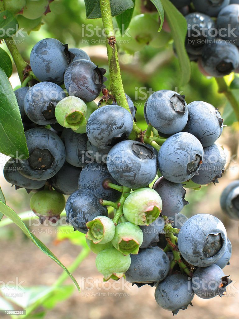 Cluster of blueberries royalty-free stock photo