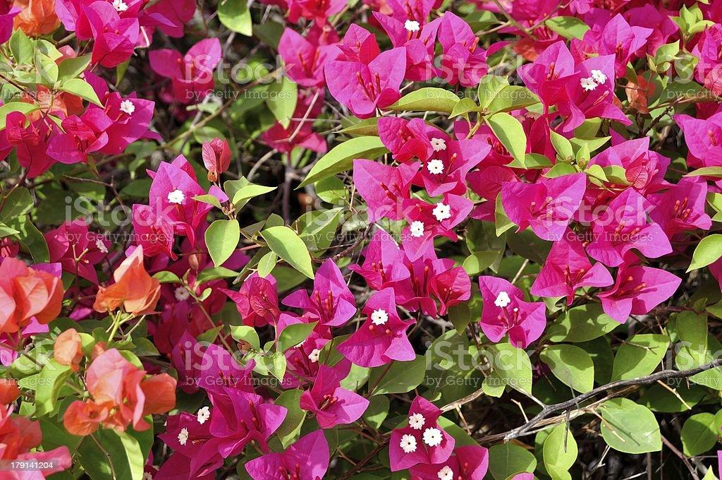 Cluster of Bright Desert Flower. royalty-free stock photo