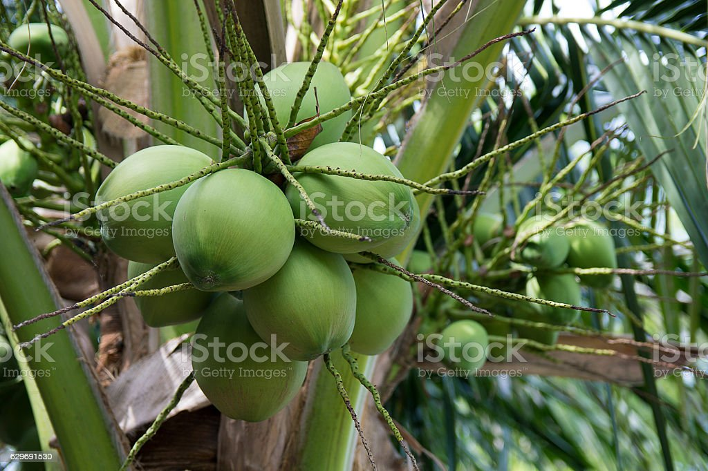 Cluster of Coconut (Cocos nucifera) Fruit on the tree stock photo