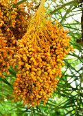 Cluster of date palm