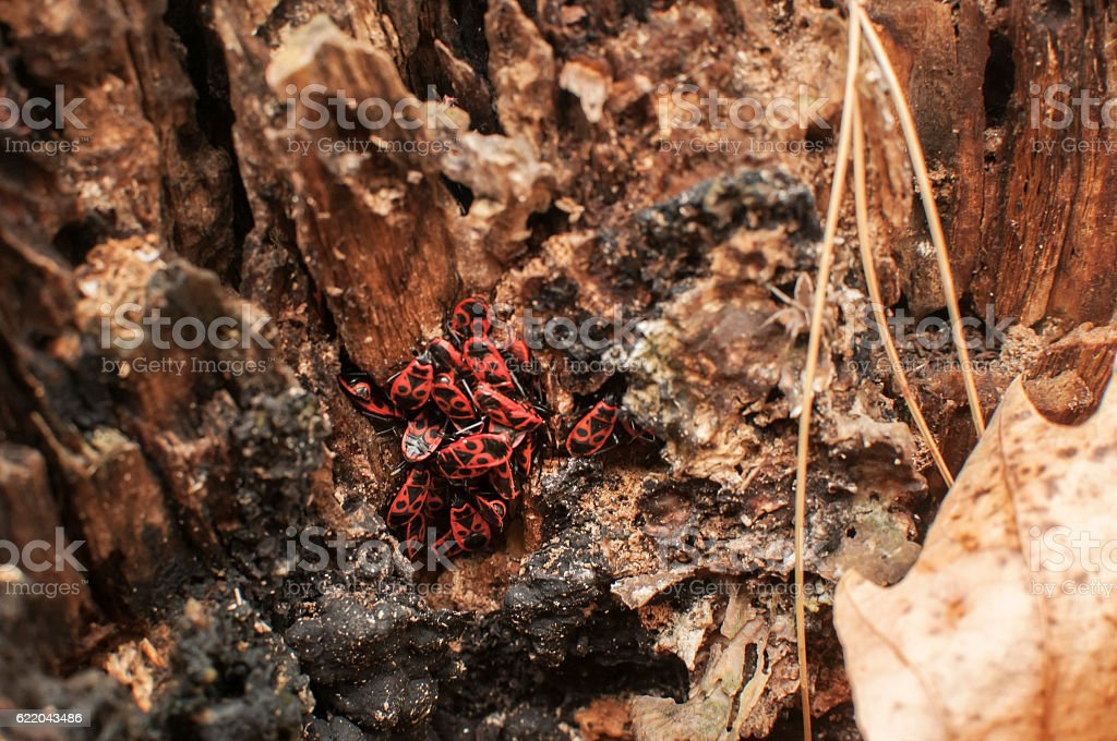 Cluster of firebugs Pyrrhocoris apterus stock photo