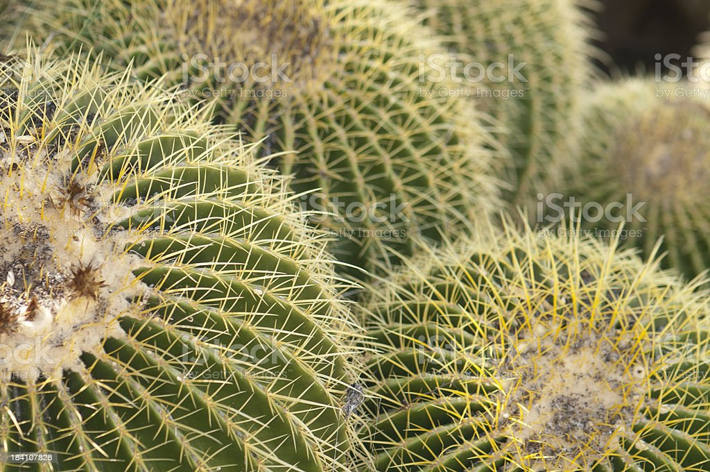 Cluster of Golden Barrel Cacti stock photo