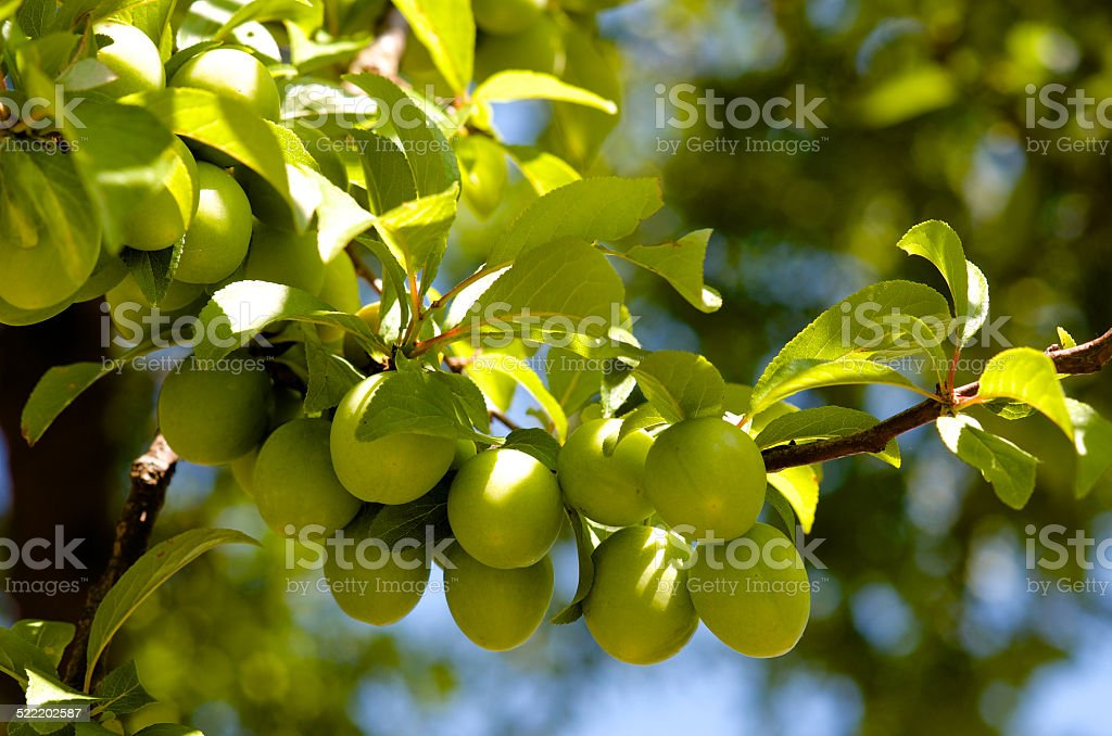 Cluster of green plums stock photo