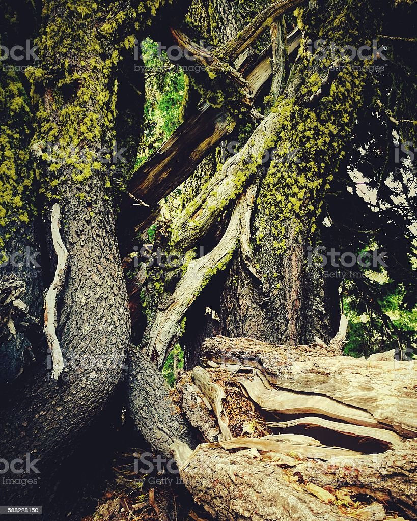 cluster of intertwining trees stock photo