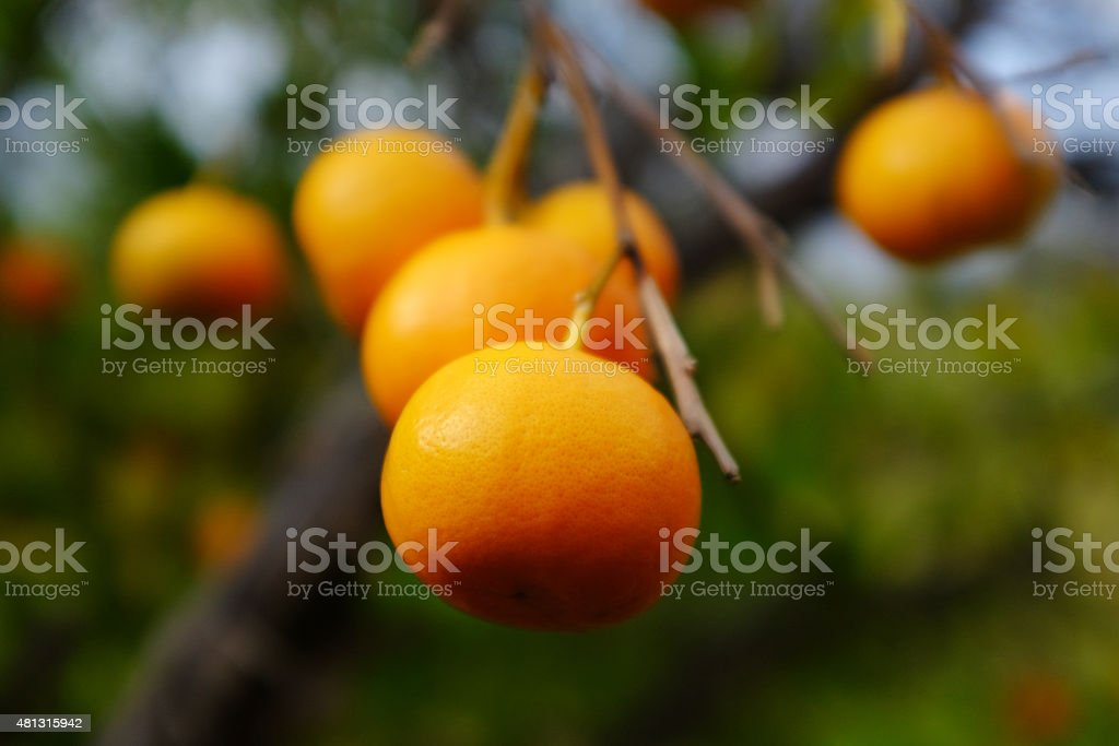 Cluster of oranges on tree branch in orchard stock photo