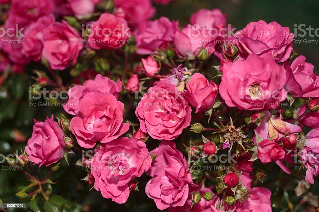 Cluster of pink tea rose flowers Rosa odorata stock photo
