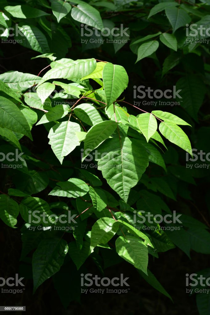 Cluster of poison ivy leaves with bright leaves and red stems stock photo