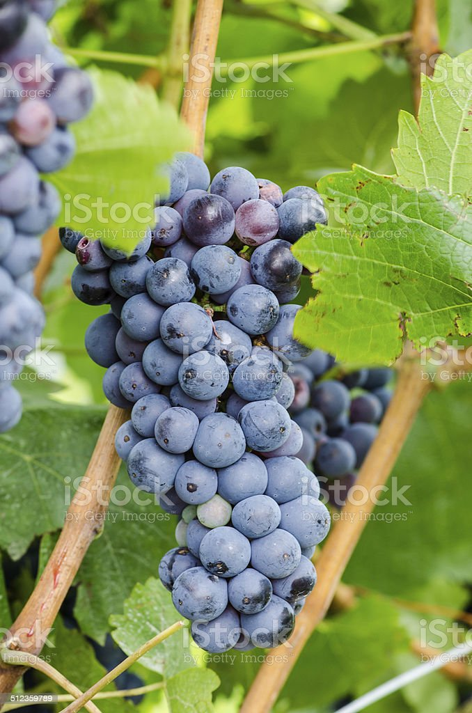 cluster of red grape stock photo