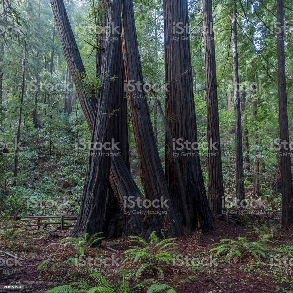Cluster of Redwood Trees in Muir Woods stock photo